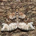 Euphyia intermediata