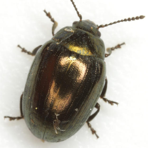 Phaedon desotonis Balsbaugh - Phaedon desotonis