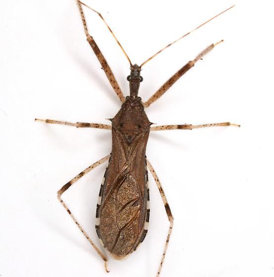 Rocconota annulicornis (Stål) - Rocconota annulicornis