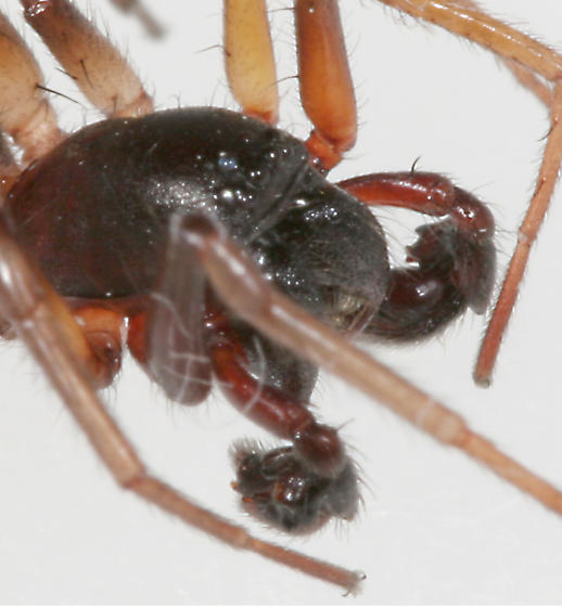 Spider BG395 - Falconina gracilis - male