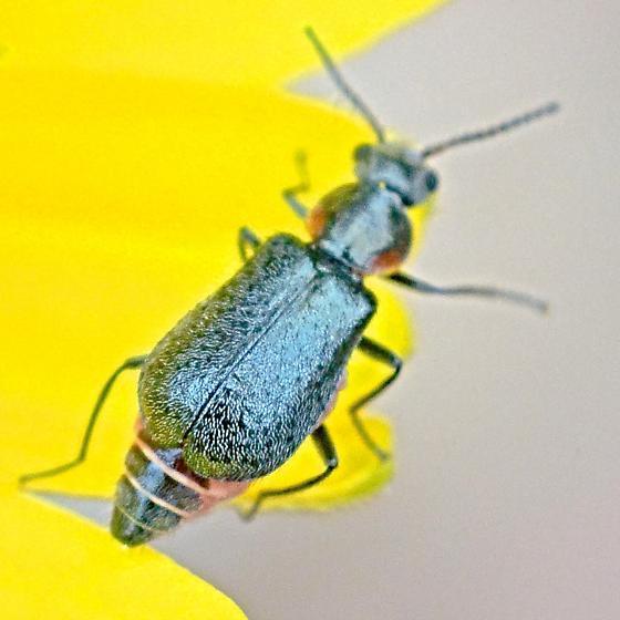 Beetle ~3.4mm