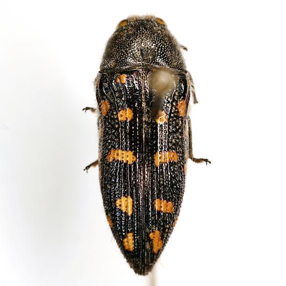 Acmaeodera delumbis Horn - Acmaeodera delumbis