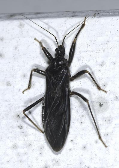 black assassin bug in the house reduvius personatus bugguide net. Black Bedroom Furniture Sets. Home Design Ideas