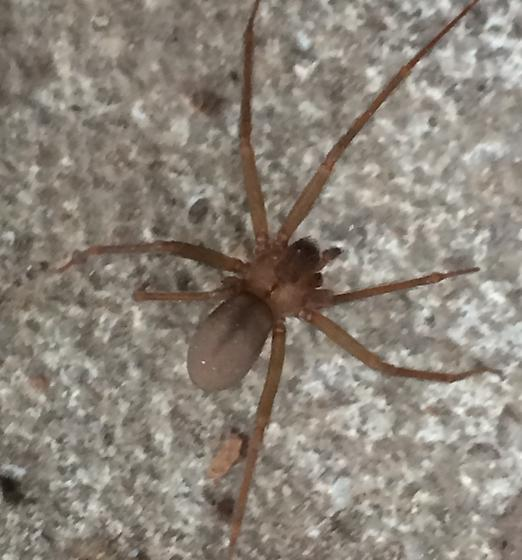 Brown recluse spider/D.Bryant - Loxosceles reclusa