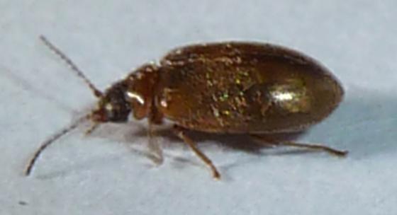 Flea Beetle - Contacyphon