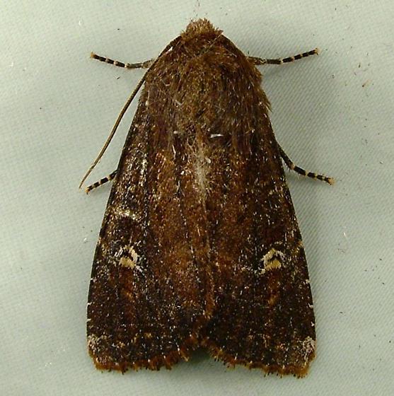2212 Apamea cogitata - Thoughtful Apamea Moth 9367 - Apamea cogitata
