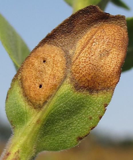 Asteromyia carbonifera?