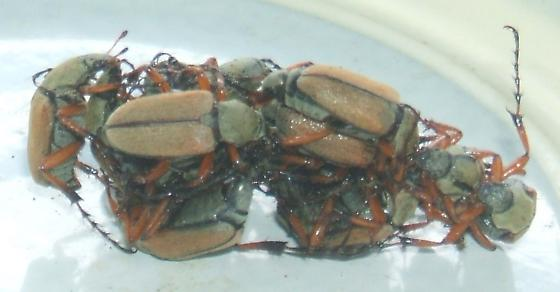 Unknown ... some variation of asian beetle? - Macrodactylus