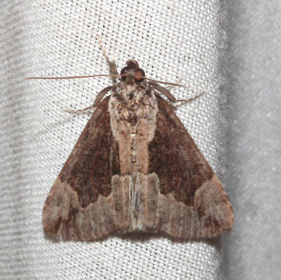 Erebidae, Baltimore Hypena - Hypena baltimoralis