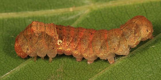 caterpillar on beech - Pseudothyatira cymatophoroides