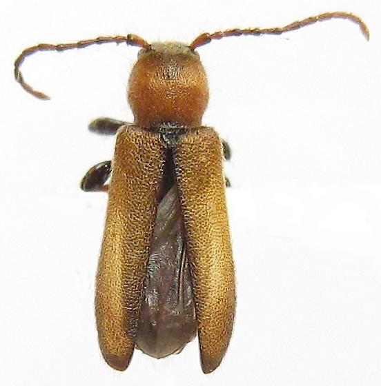 Beetle - Phymatodes hirtellus