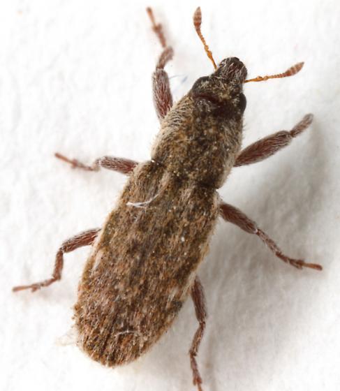 Microlarinus? - Microlarinus