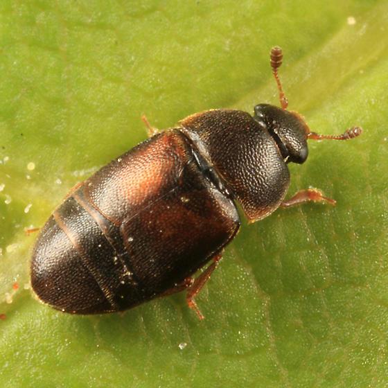 small flower beetle - Colopterus truncatus