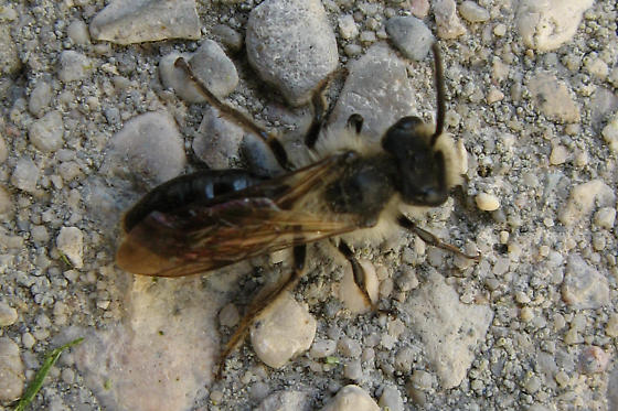 Andrena Species? - Andrena - male
