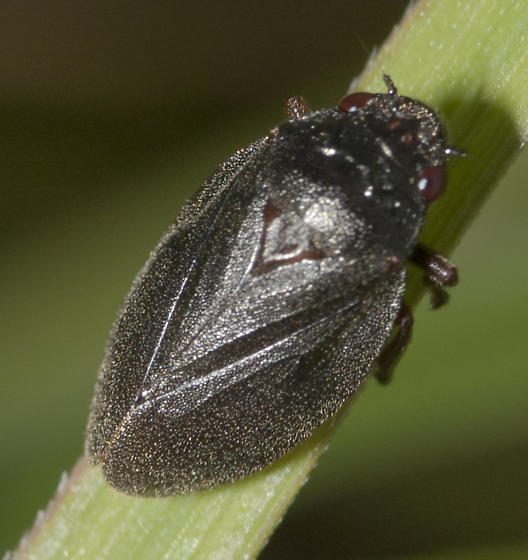 Two lined Spittlebug without the lines - Prosapia bicincta