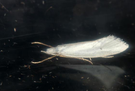 tiny white moth #2993 - Eucalantica polita