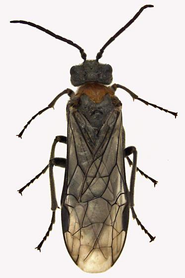 Common sawfly - Dolerus