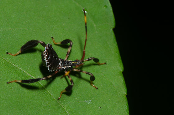 Leaf-footed Bug Nymph - Acanthocephala terminalis