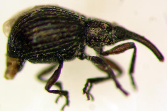 Straight-snouted Weevil - Trichapion