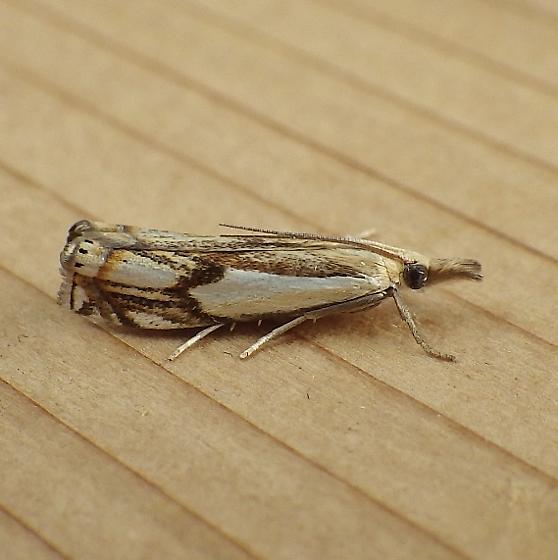 Crambidae: Crambus agitatellus - Crambus agitatellus