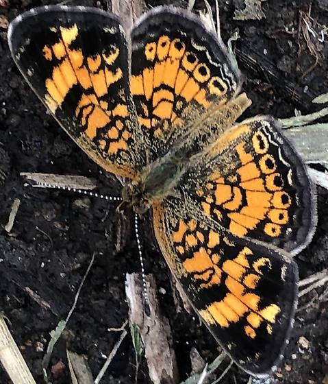 Pearl Crescent - Hodges#4481 ?? - Phyciodes tharos