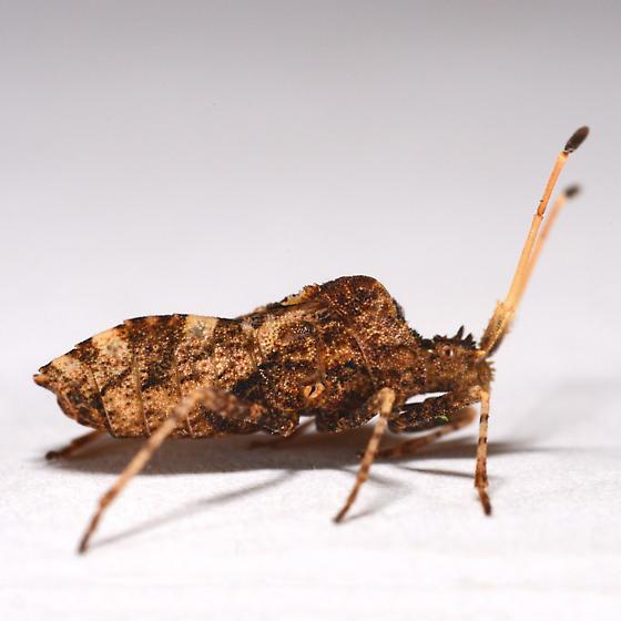 Assassin Bug of Some kind? - Centrocoris variegatus