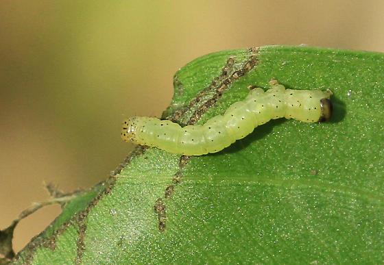 Small Green Caterpillar With A Few Black Spots Bugguide Net