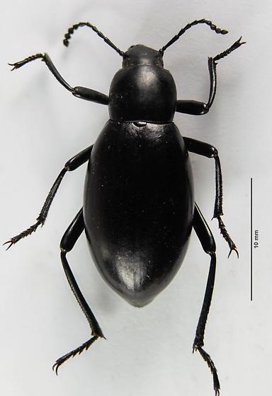 Another Eleodes? - Eleodes longicollis - female