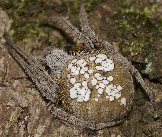 Unknown Spider - Eriophora ravilla