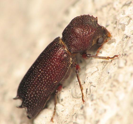 Bostrichid - Heterobostrychus aequalis