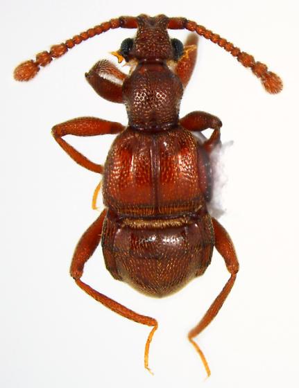Tmesiphorus - Tmesiphorus costalis - female