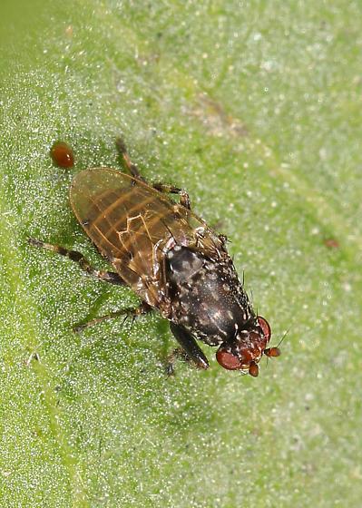 Lesser Dung Fly - Poecilosomella angulata? - Poecilosomella angulata