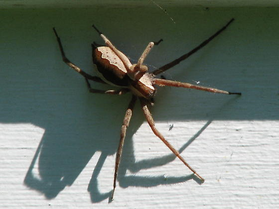 large brown spider - Pisaurina mira