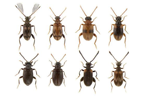 Aderidae species