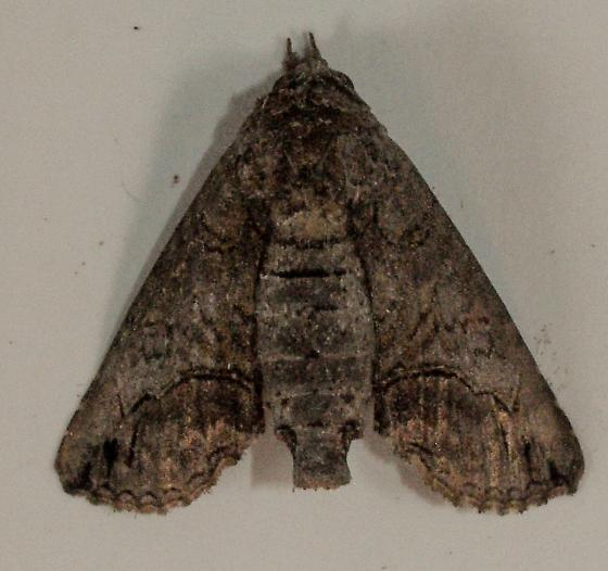 Moth to porch light  - Paectes