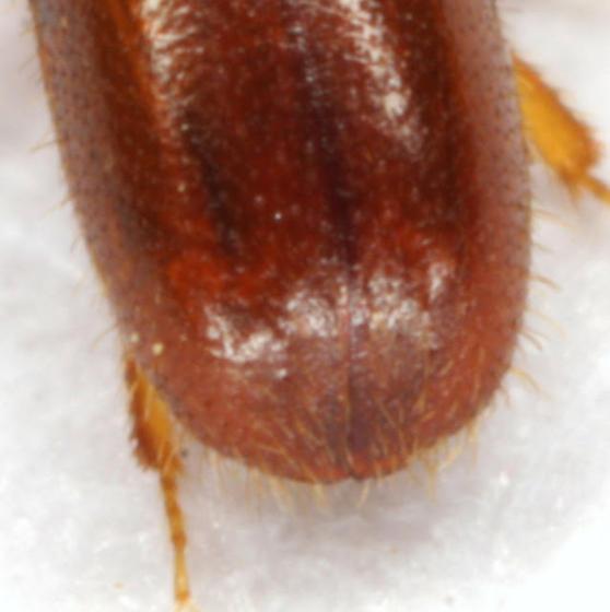 Gnathotrichus pilosus (LeConte) - Gnathotrichus pilosus