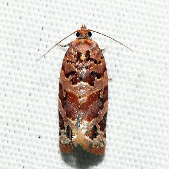 Jack Pine Tube Moth - Argyrotaenia tabulana