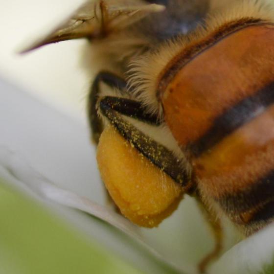 Honey Bee Pollen Sac - Apis mellifera - female