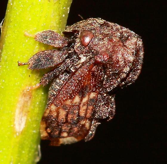 Treehopper - Tylopelta gibbera