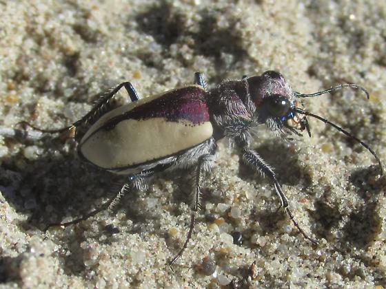 Cicindela formosa gibsoni - Cicindela formosa - female