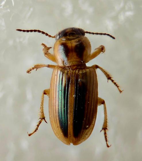 Green Stripes... - Stenolophus binotatus