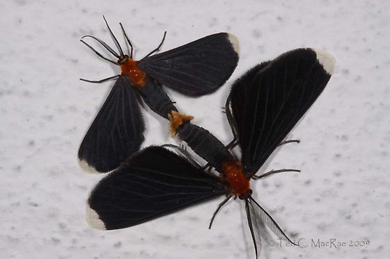 Tribe Ctenuchini? - Melanchroia chephise - male - female