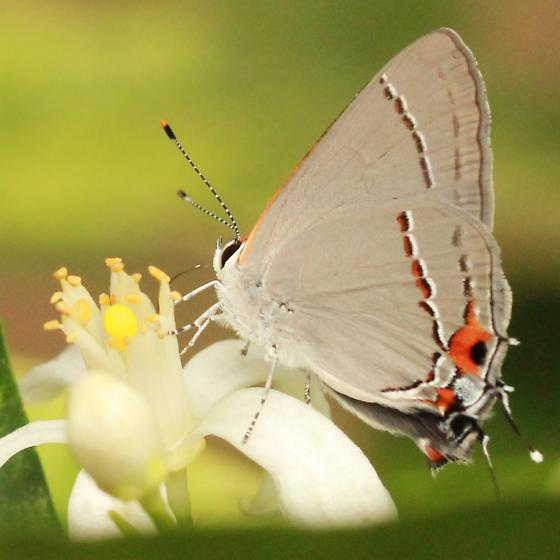 Gray Hairstreak - Hodges#4336 - Lateral - Strymon melinus