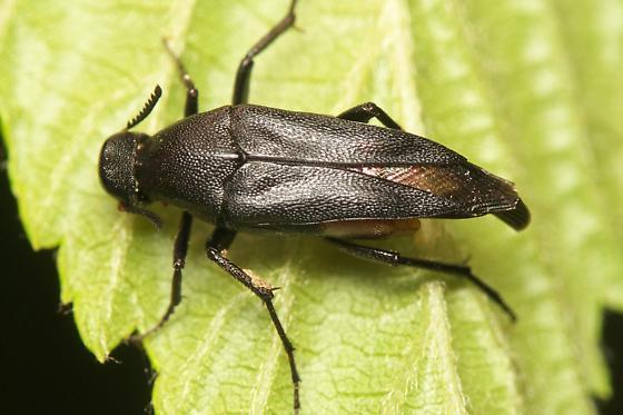 Unknown Beetle - Macrosiagon pectinata - female