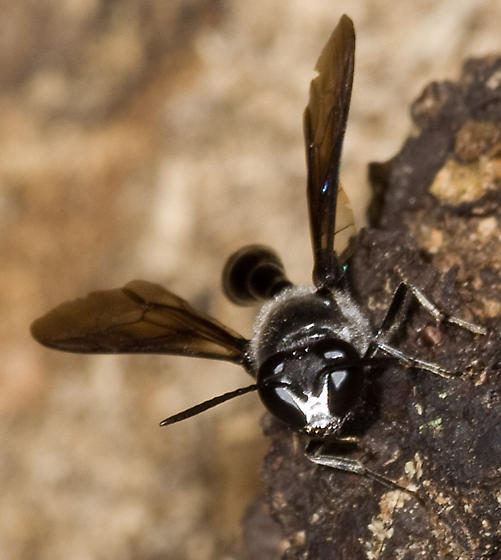 Bee, I mean wasp, #4 - Trypoxylon