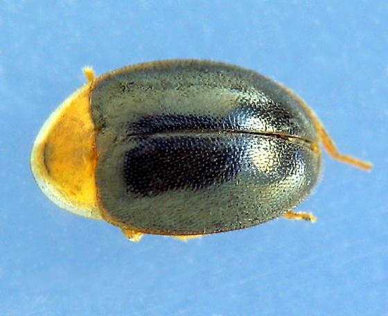 pinkish-pronotum marsh beetle - Sacodes thoracica