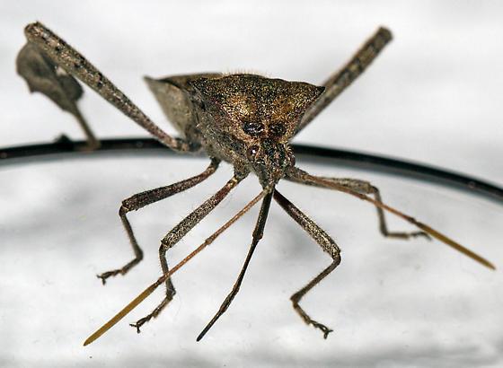 Leptoglossus, possibly zonatus? - Leptoglossus zonatus