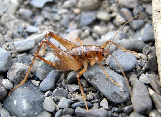Cricket 1 - Ceuthophilus brevipes - female