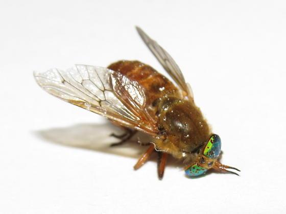 deer fly - Silvius gigantulus