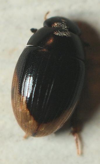 Unknown Beetle - Cercyon praetextatus